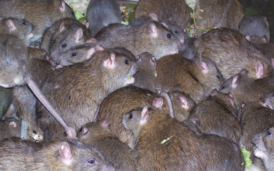 Captivating Follow Links To Find Out How To Get Rid Of Rats Outside In Your Yard Or  Garden